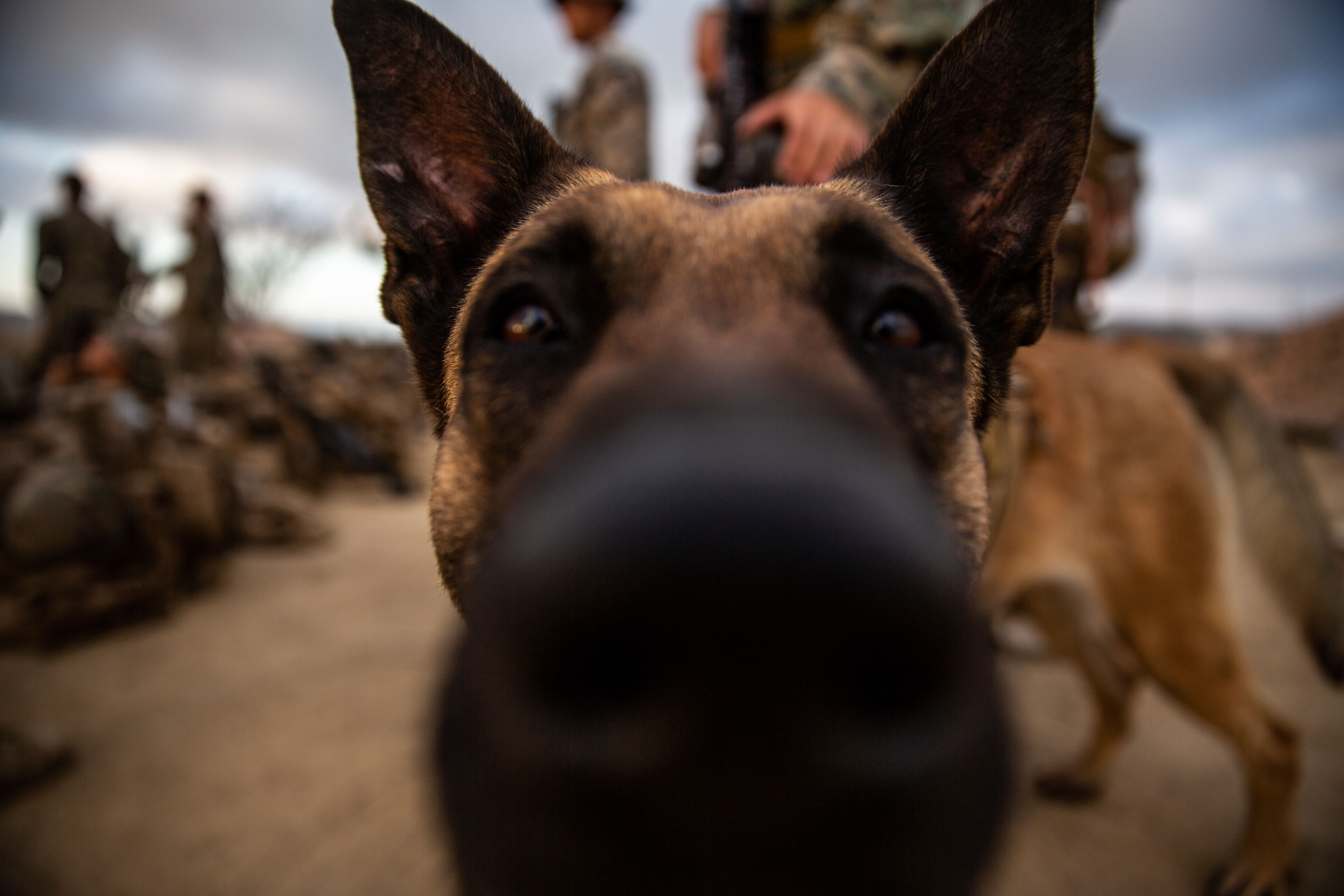 You Can Adopt a Retired U.S. Air Force Military Working Dog ...