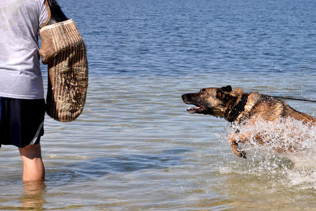 Military Working Dog Jack goes after a decoy perpetrator from the 325th Security Forces Squadron, during in-water bite training last June on the beach at Tyndall Air Force Base. (US Air Force photo/Alex Echols)