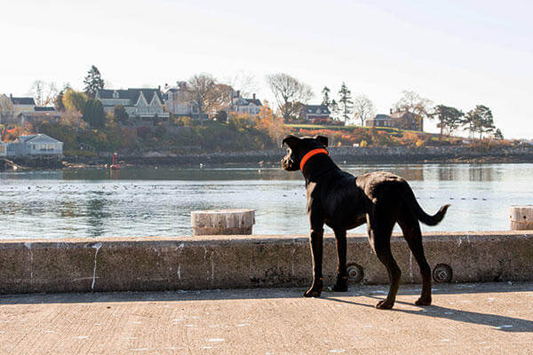 Bruin, the new puppy at Coast Guard Station Gloucester, Mass., looks out to Gloucester Harbor Wednesday, Nov. 4, 2015. The station's crew adopted Bruin in October from a local shelter. (U.S. Coast Guard/PO2 Cynthia Oldham)