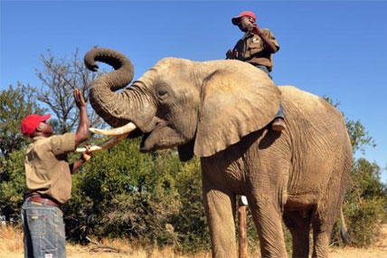 An elephant called Chishuru is rewarded by David for having completed a scent trial as colleague Sugar sits on top, in Bela-Bela, north of Pretoria, South Africa. (AP Photo/Graham Alexander, Adventures With Elephants)