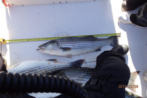 Cutter Dependable's fisheries boarding team inspects striped bass aboard a commercial fishing vessel off New Jersey during their fisheries patrol throughout December 2015. (Photo: Ensign Alexis A. Davis)