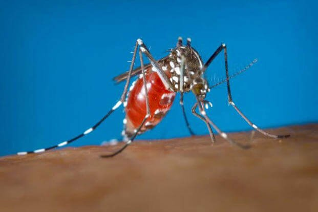 The aedes albopictus mosquito is the primary carrier for the chikungunya virus, also known as CHIK, in the temperate climates of the United States. (U.S. Army phooto)