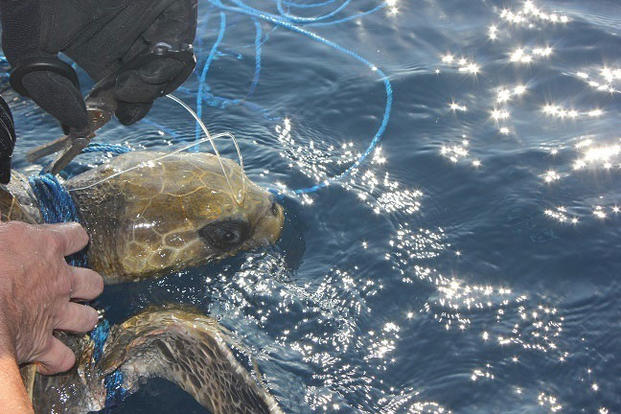 A Coast Guard Cutter Escanaba crewmember frees an entangled Leatherback sea turtle from fishing gear while on patrol in the Eastern Pacific Ocean. Escanaba's crew spotted and freed four Leatherback sea turtles during the patrol. (U.S. Coast Guard photo)