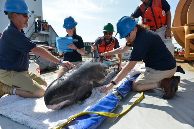 Teams from the Institute of Marine Mammal Studies keep a pygmy killer whale hydrated while they prep it for release into the Gulf of Mexico, July 11, 2016. (Photo: Petty Officer 3rd Class Lexie Preston)