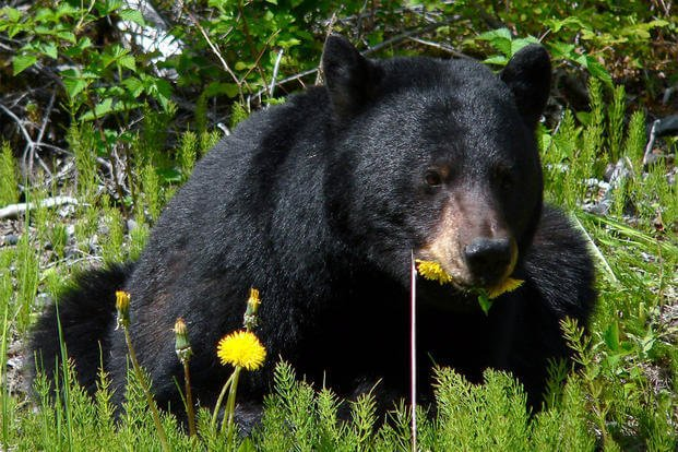 black bear in field