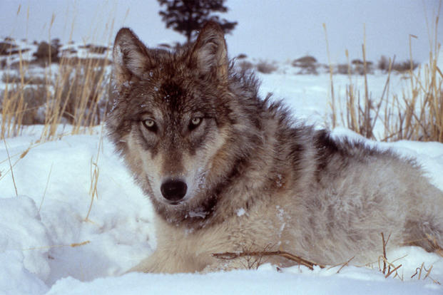Wolf in winter field